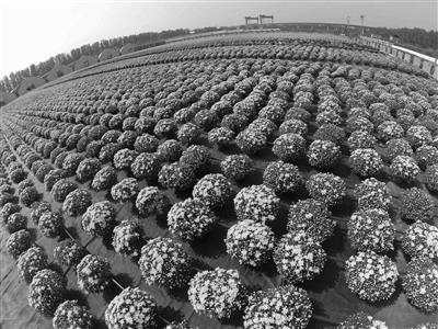 天安门广场国庆花坛用变色菊花 花瓣可鹅黄变粉黄