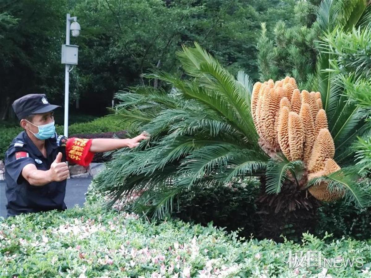 罕见!王家墩公园一株铁树开了30朵花